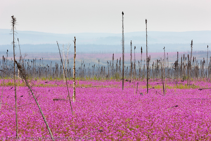 Newly recolonized fireweed in summer bloom along the Dalton Highway, the result of a recent forest fire.