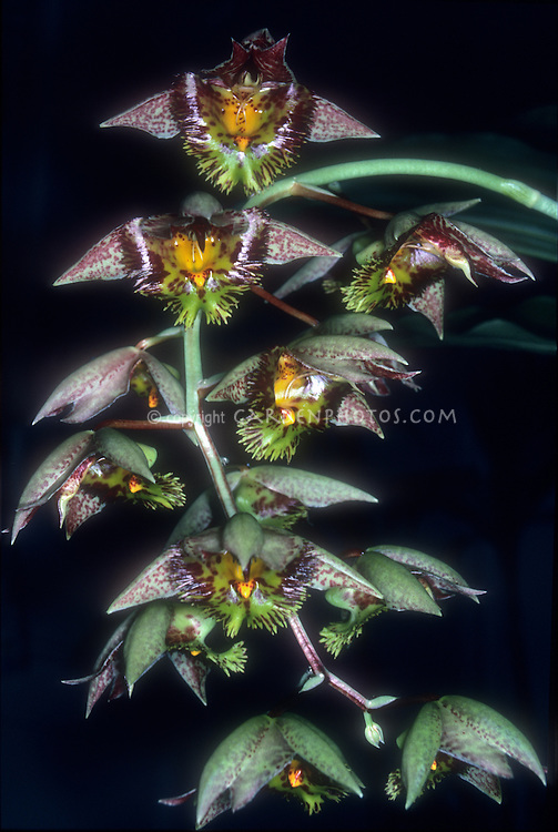 Catasetum Marge Soule orchid primary hybrid of Catasetum fimbriatum x expansum, against black background