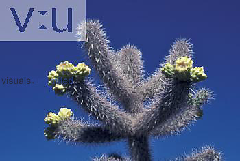 Fruits and spines of the Cane Cholla Cactus ,Opuntia spinosior,, Southwestern USA.