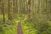 Walking track through carpet of moss in beech forest, Fiordland National Park, Southland, World Heritage Area, New Zealand