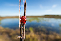 A Seven-spotted Lady Beetle (Coccinella septempunctata) perches next to a vegetated pond in Hopkins Prairie in Ocala National Forest.