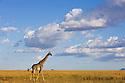 Maasai giraffe (Giraffa camelopardus maasai) in dry grassland savannah, Maasai Mara, Kenya