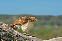 542100021 a wild adult red-tailed hawk buteo jamaicensus perches on a very large tree limb against a blue sky in the texas hill country in central texas
