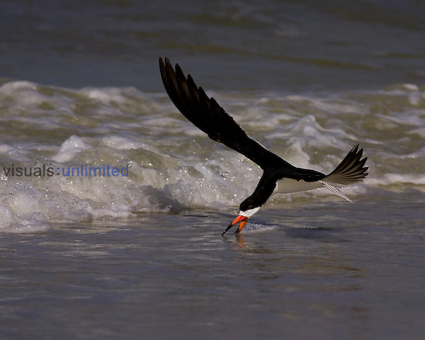 Black Skimmer fishing in flight ,Rynchops niger,, Southern USA.