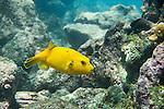Santa Fe Island, Galapagos, Ecuador; a golden phase, Guineafowl Puffer (Arothron meleagris) fish swims over the rocky reef , Copyright © Matthew Meier, matthewmeierphoto.com All Rights Reserved