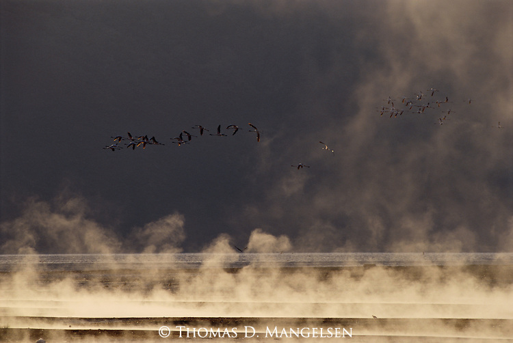 A flock of birds fly over a lake and through fog in Lake Bogoria, Kenya, Africa.
