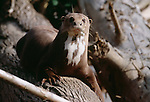 Giant Otter, Manu National Park, Peru