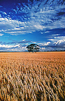 The Tree - standing alone in a cut wheat field east of Perth Western Australia