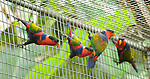 Black-capped lories at the Masihulan Wildlife Rehabilitation Center, rescued from wildlife markets and awaiting release into the wild.