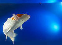 1 one Koi fish tropical oriental fish feeding