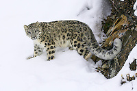 Snow Leopard standing in the snow beside a rocky wall - CA