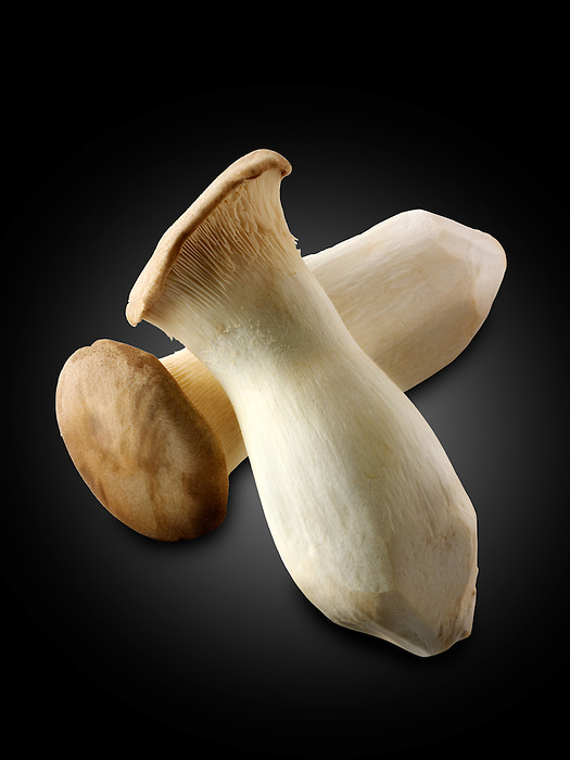 Fresh picked Pleurotus eryngii mushroom , also known as king trumpet mushroom, French horn mushroom, king oyster mushroom, king brown mushroom, boletus of the steppes or trumpet royale, against black