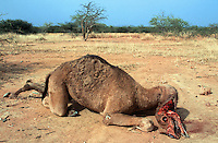 Sudan. West Darfur. Habilah.  Just outside the village, a dead camel lies on the ground.  © 2004 Didier Ruef