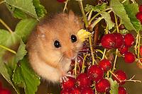 Haselmaus klettert und frisst zwischen Roter Johannisbeere, Hasel-Maus, Muscardinus avellanarius, hazel dormouse, common dormouse, Schläfer, Schlafmäuse, Bilche, Bilch, Gliridae, dormice