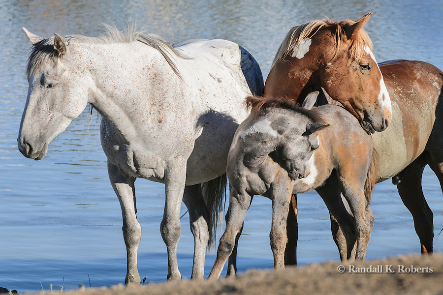 A family of wild horses pauses near a waterhole in the Sand Wash Basin BLM area of northwestern, Colorado
