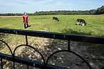 Young calves graze in a field at Potapovo Farm on Sunday, August 18, 2013 in Potapovo, Russia.