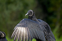 Black vultures, Myakka River State Park, Florida