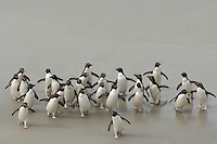 Rockhopper Penguin group walking on a sandy beach(Eudyptes chrysocome), Falkland Islands.