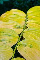 Polygonatum in autumn fall gold yellow color