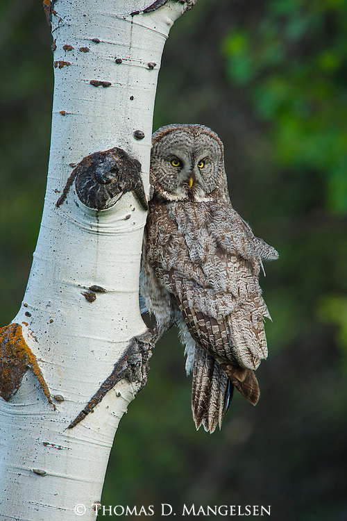 A Great Gray Owl perches in an aspen tree in Grand Teton National Park, Wyoming.
