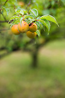 Sour ume plums (prunus mume) ripen in the rainy season in an orchard in Kawasaki, Japan.
