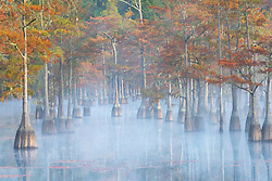 Fall color adorns a grove of cypress peeking through the mist on a cool autumn morning.