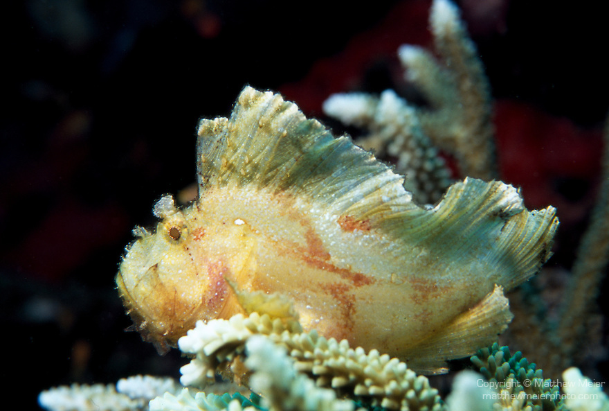 Milne Bay, Papua New Guinea; Leaf Scorpionfish (Taenianotus triacanthus), to 10 cm (4 in.), color variations include white, pink, yellow, tan, brown and black with mottling, live in coastal, lagoon and outer reefs to 134 meters, found in E. Africa to Fiji and Hawaii, S.W. Japan to Australia , Copyright © Matthew Meier, matthewmeierphoto.com All Rights Reserved