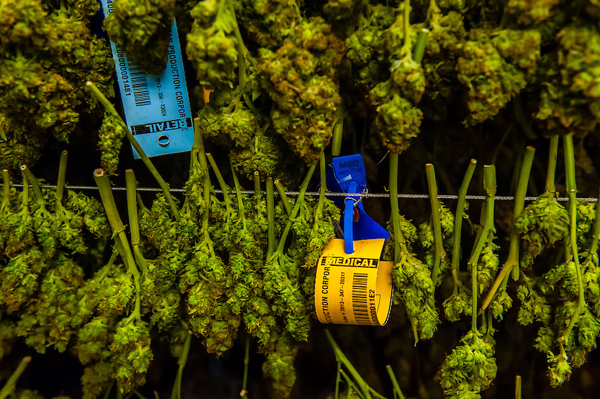 After trimming, pot is hung in racks in the Drying room. Medicine Man Denver is the single largest legal medical and recreational marijuana dispensary in Denver, Colorado USA. Their 20,000 sq. ft. facility will soon double in size. Radio frequency ID tags and 65 video cameras allow the State of Colorado to track inventory through the growing process and all plant weight is accounted for. Medicine Man won the High Times' Cannabis Cup for best sativa (Jack Herer). 20-30 strains are available for sale daily.