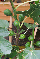 Edible figs Vern's Brown Turkey growing on plant, with water droplets