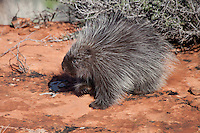 Young porcupine walking over a red rock - CA