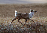 Caribou calf, Arctic National Wildlife Refuge, Alaska