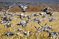 637296277 a flock of wild snow geese chen caerulescens glide in for a landing in an open field of grain on bosque del apache national wildlife refuge in north central new mexico