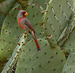 Pyrrhuloxia sitting on a cactus in the Big Bend area of Texas in the springtime at a private wildlife bird sanctuary
