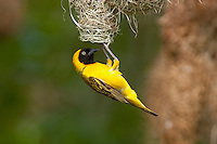 Lesser Masked-Weaver male at the nest (Ploceus intermedius), South Africa.