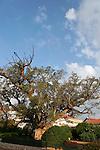 T-112 Sycamore tree in Ramat Gan