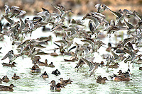 Flock of Willets