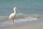 Captiva Island, Florida; an adult White ibis (Eudocimus albus) bird standing at the water's edge on the sandy beach © Matthew Meier Photography, matthewmeierphoto.com All Rights Reserved