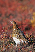 Willow Ptarmigan stands in the blueberry plants of the autumn, Denali National Park, Alaska