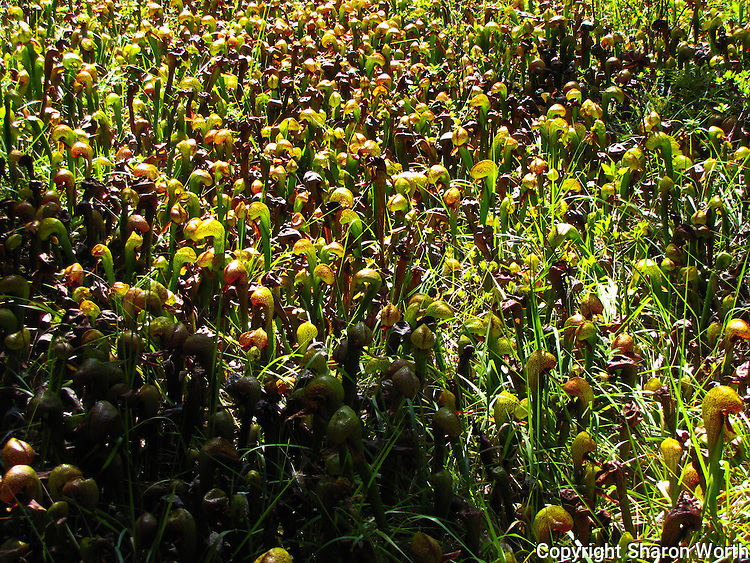 Darlingtonia californicas, California pitcher plants, or cobra lilies in Darlingtonia Bog, Smith River National Recreation Area.