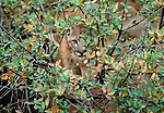 A puma blends in with its desert surroundings, Arizona, USA
