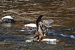 A Golden Eagle feeding on carrion in the Blackfoot River in Montana