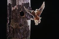 Eastern Screech-Owl (Megascops asio) (Otus asio)adult in flight leaving cavity, Raleigh, Wake County, North Carolina, USA