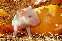 Commercial piglet beside Jack O'lantern in straw with fall leaves