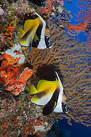 RH0153-D. Masked Bannerfish (Heniochus monoceros) being cleaned by Bluestreak Cleaner Wrasse (Labroides dimidiatus) at cleaning station next to gorgonian sea fan. Palau, Pacific Ocean.<br /> Photo Copyright &copy; Brandon Cole. All rights reserved worldwide.  www.brandoncole.com