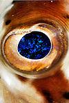 balloonfish, Diodon holocanthus,  closeup
