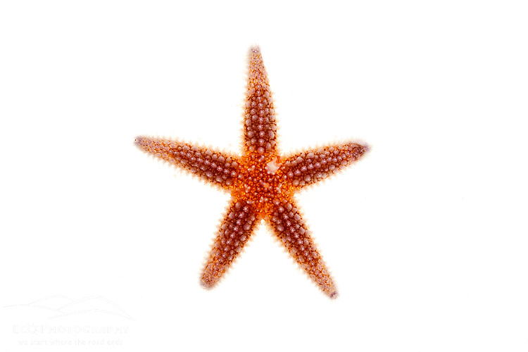 A northern sea star Asterias vulgaris found in Rye, New Hampshire.