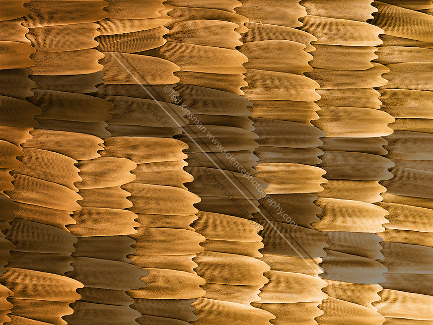 .Monarch Butterfly scales (Danaus plexippus)  Colored Scanning Electron Micrograph (SEM) of scales from the wing.  Magnification is 110 x and represents a field of view of 1 mm.