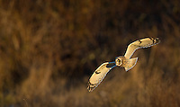 Short-eared owls are my favorite winter subjects.  They are a common sight in and around the Skagit Valley.