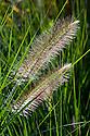 Pennisetum alopecuroides 'Woodside', mid October.