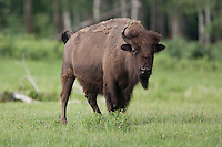 Bison in a grassy field